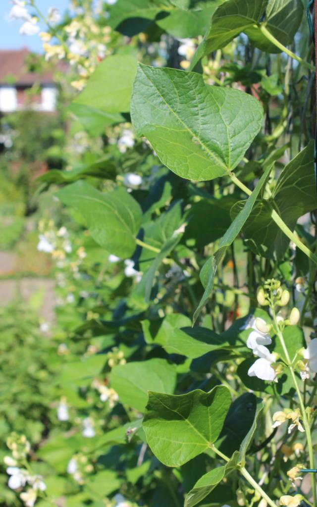 Plants de haricots de Soissons < Soissons