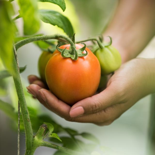 Cueillette de tomate < Jardins de Pontarcher < Ambleny